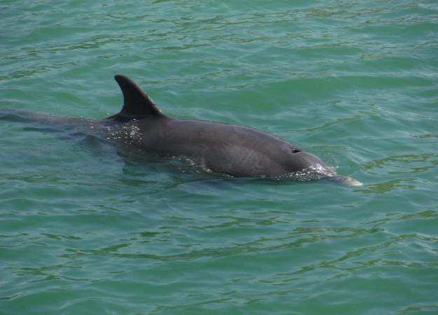 dolphin8