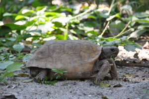 gopher tortoise egmont key super high quality