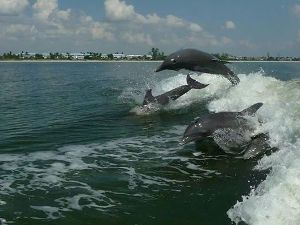 dolphins jumping behind boat in wake billy gilmartin