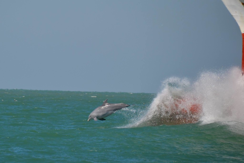 Captain jacks dolphin corner photo- Dolphins jumping out of the wake in front of a returning ship at egmont key