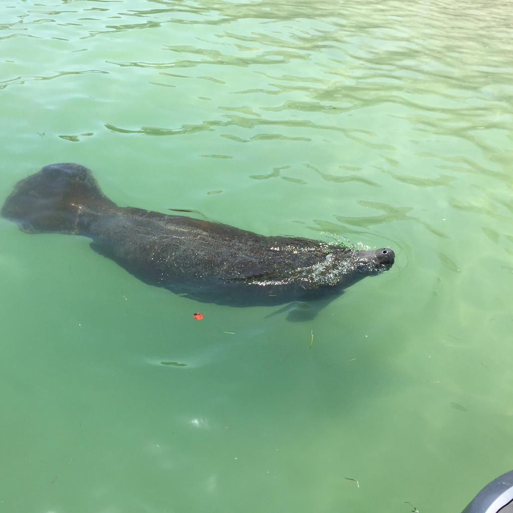 The manatees have been showing up all over the local area, this guy came to visit us at Hubbard's Marina while loading a dolphin watching nature cruise and eco tour